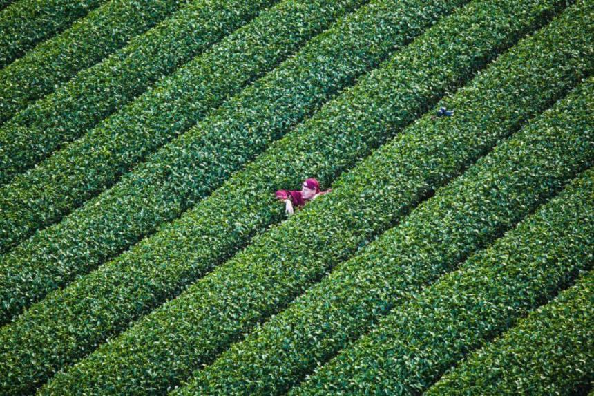 Sheng Le Farm tea plantation