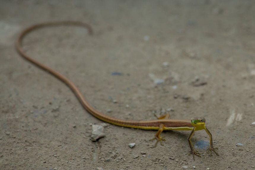 Lizard on Shakadang Trail