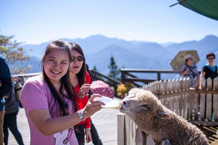 Taiwan Scene_Mt. hehuan_Sheep at Qingjing Farm