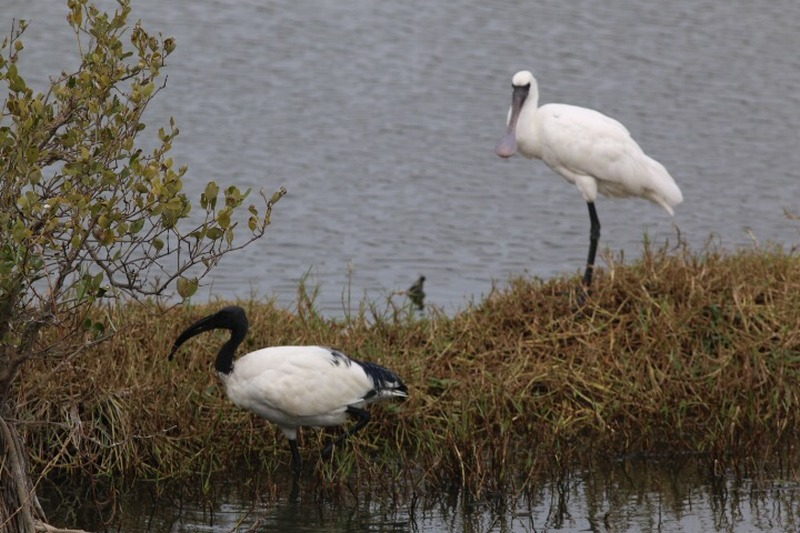 Taiwan-Scene-Birdwatching-Ibis-competes-with-Spoonbill