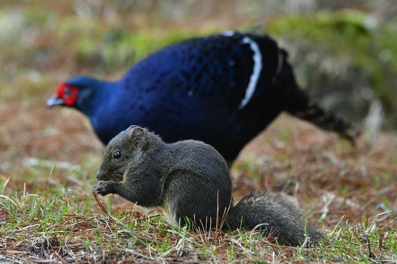 Taiwan-Scene-Birdwatchng-Mikado-and-squirrel