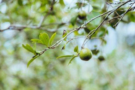 Camellia seeds(image source: Cha Tzu Tang)