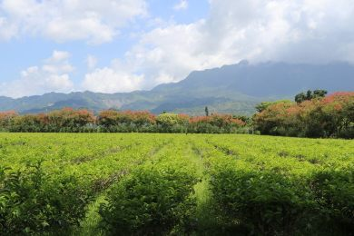 Tea plantation in Taitung (image source: Taiwan Scene)